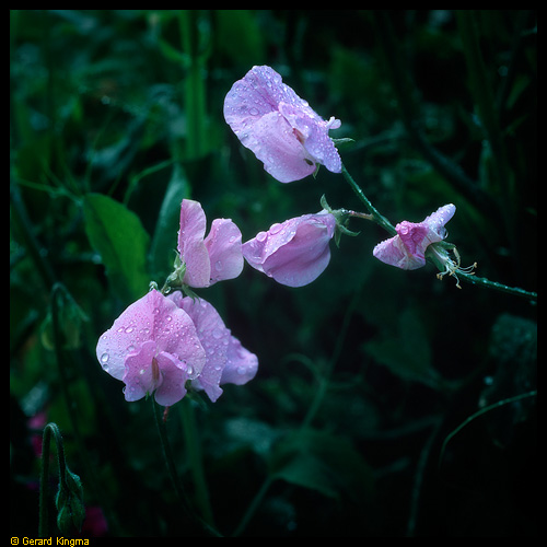 Bedauwde lathyrus - Sweet Peas and Dew Drops