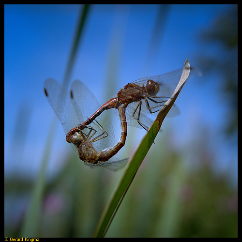 Two dragonflies mating