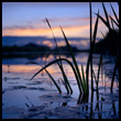 Reeds against the sunset